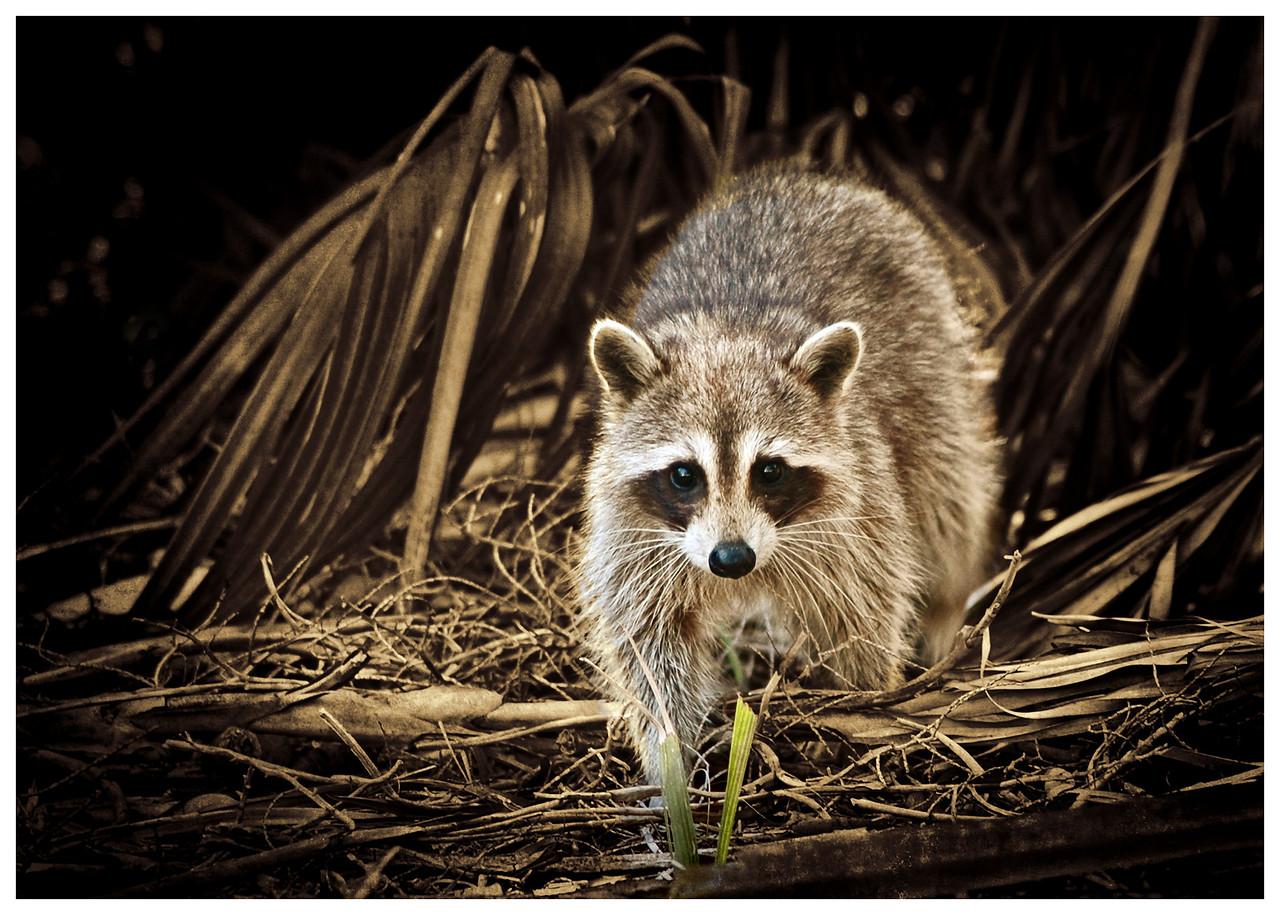 Raccoon, Ft. DeSoto Park
