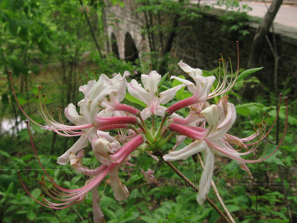 Wild Azalea with Bridge at Bowman's Hill
