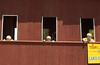 Gray, Logan & Casen in windows at Kutztown Folk Festival