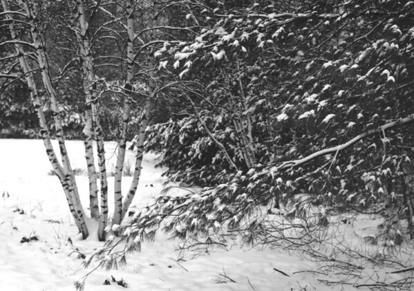 Young birch trees enhanced by winter snow.