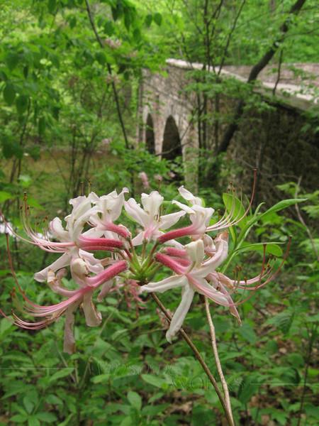 Wild Azalea w/ Bridge at Bowman's Hill