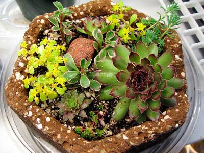 'Tufa pot with sedums and semperviviums
