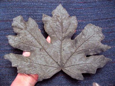 Leaf Cast #2 - Maple