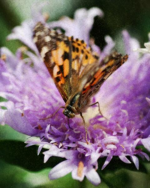 Butterfly - Lukas Nursery