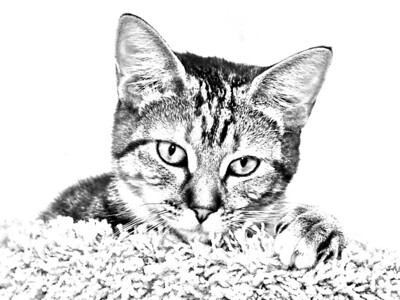 Pencil sketch technique used on photo of a kitten at the Seminole County Animal Services