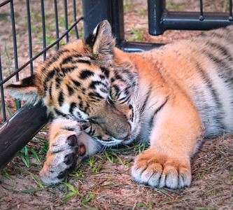 Baby tiger at the Central Florida Fair, 2012