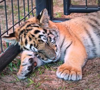 Baby tiger at the Central Florida Fair, 2012