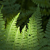 """12x16"""" Fernfern    Canvas Print      Available in other sizes"""
