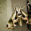 """16x12""""   Sphinx Moth      Available in other sizes"""