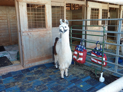 Their stalls and enclosures are padded and carpeted to protect their coats and to help keep them clean.