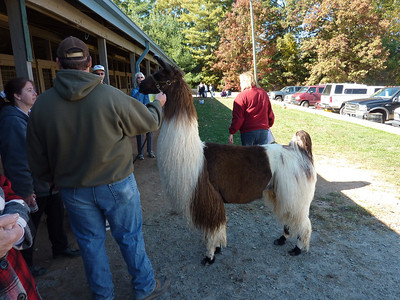 Llama and alpaca are also well represented at SAFF. This handsome llama has been painstakingly groomed right down to his polished black toes.