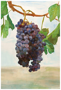 Grapes 1 Watercolor on 300 pound Arches watercolor paper c. 2003 22 inches x 30 inches These grapes were based off of a photo of grapes taken at the Orfila Vineyard