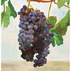 Grapes 1<br /> Watercolor on 300 pound Arches watercolor paper c. 2003<br /> 22 inches x 30 inches<br /> These grapes were based off of a photo of grapes taken at the Orfila Vineyard