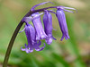 Bluebell closeup