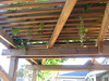 grapes hang down from the arbor-- too small to eat now, but just wait!