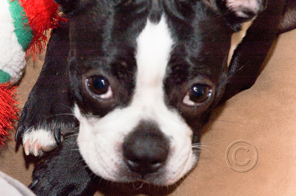 My Boston Terrier Poppy