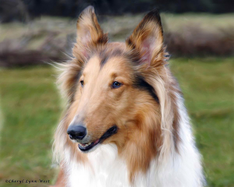Daisy, Rough Collie