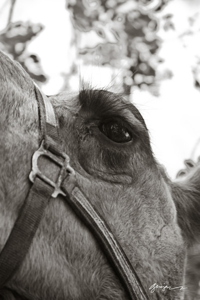 A camel's lashes....   Envy of every woman.