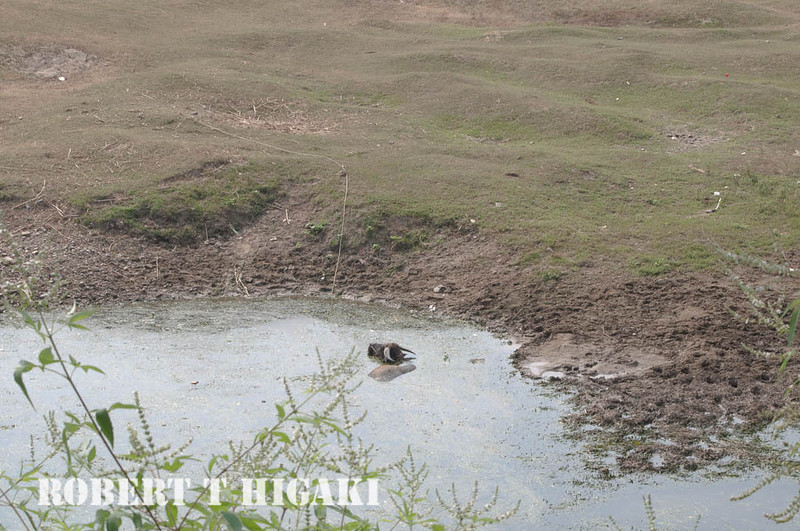 Water buffalo in the pond