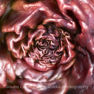 Raparperiaivot - Rhubarb brains. Raparperi (Rheum rhabarbarum) - Rhubarb