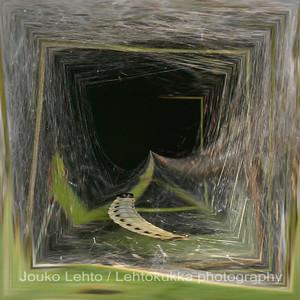 Tuomenkehrääjäkoin toukat (Yponomeuta evonymellus) - Bird-cherry ermine caterpillars
