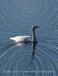 Laulujoutsen (Cygnus cygnus) - Whooper swan