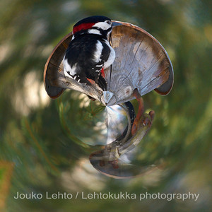 Käpytikka (Dendrocopos major) - Great Spotted Woodpecker