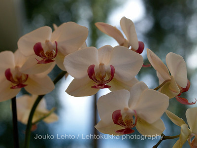 Orkidea, Orchid