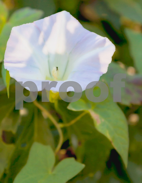 Morning glory blossom1