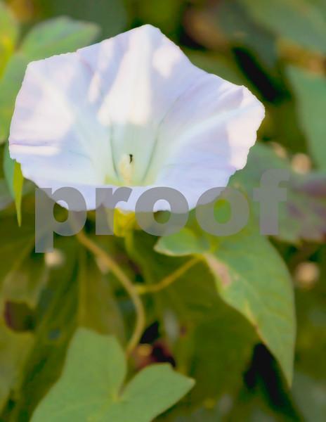 Morning glory blossom1