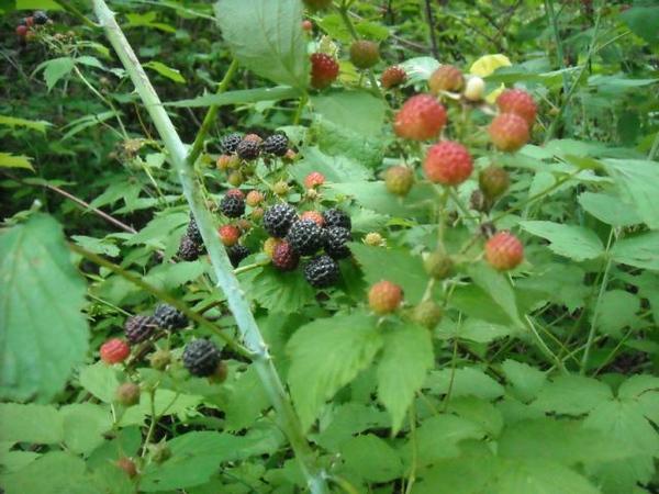 Greg-Engel Wild Black Raspberries