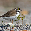 Dverglo / Little ringed plover