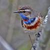 Blåstrupe / Bluethroat
