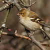 Bokfink / Common chaffinch