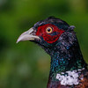 Fasan / Common pheasant