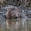 Bever / Eurasian beaver