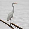 Egretthegre / Great egret