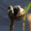 Dvergdykker / Little grebe
