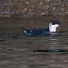 Alkekonge / Dovekie<br /> Oslofjorden, 4.11.2006<br /> Canon EOS 20D + EF 400 mm 5,6 L