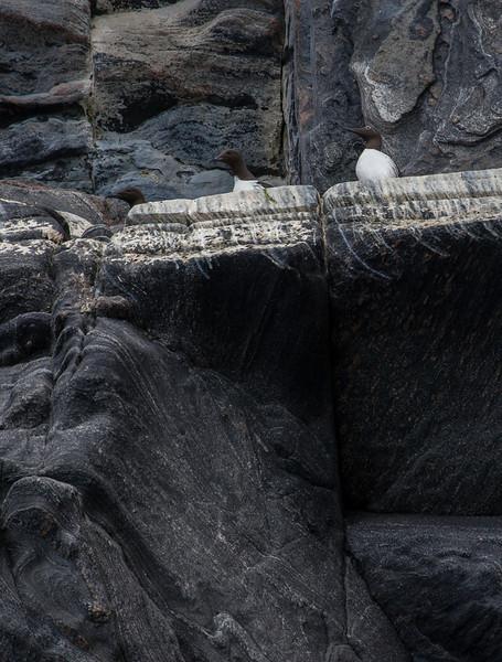 Lomvi / Common Murre<br /> Runde, Møre og Romsdal 20.7.2012<br /> Canon EOS 7D + EF 100-400 mm 4,5-5.6 L
