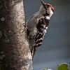 Dvergspett / Lesser Spotted Woodpecker<br /> Linnesstranda, Lier 7.5.2011<br /> Canon EOS 50D + EF 400 mm 5,6 L
