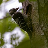 Dvergspett / Lesser Spotted Woodpecker<br /> Linnesstranda, Lier 19.6.2021<br /> Canon EOS R5 + EF 500mm f/4L IS II USM + 1.4x Ext