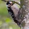 Dvergspett / Lesser Spotted Woodpecker<br /> Linnesstranda, Lier 13.5.2012<br /> Canon EOS 7D + EF 400 mm 5,6 L