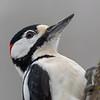 Flaggspett / Great Spotted Woodpecker<br /> Linnesstranda, Lier 17.3.2019<br /> Canon 5D Mark IV +  EF 500mm f/4L IS II USM + 1.4x Ext