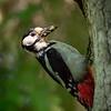 Flaggspett / Great Spotted Woodpecker<br /> Holtnesdalen, Hurum 3.6.2018<br /> Canon5D Mark IV + EF 500mm f/4L IS II USM + 1.4x Ext