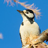 Flaggspett / Great Spotted Woodpecker<br /> Elveparken, Drammen 23.11.2013<br /> Canon EOS 7D + EF 100-400 mm 4,5-5,6 L