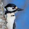 Flaggspett / Great Spotted Woodpecker<br /> Linnesstranda, Lier 12.4.2015<br /> Canon 7D Mark II + Tamron 150 - 600 mm 5,0 - 6,3