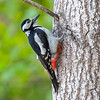 Flaggspett / Great Spotted Woodpecker<br /> Børsesjø, Telemark 18.5.2018<br /> Canon 7D Mark II + Tamron 150 - 600 mm 5,0 - 6,3 G2