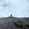 Fossekall / Dipper<br /> Daleelva, Rogaland 25.5.2008<br /> Canon EOS 20D + EF 400 mm 5.6 L