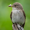 Gråfluesnapper / Spotted Flycatcher<br /> Linnesstranda, Lier 7.6.2020<br /> Canon  5D Mark IV + EF 500mm f/4L IS II USM + 1.4x Ext